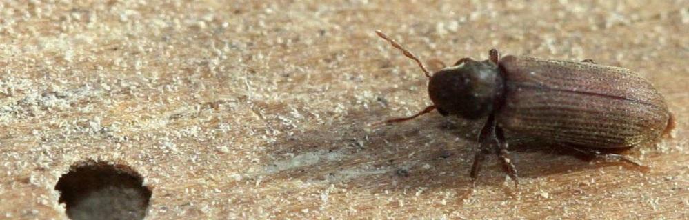 Дезинсекция от жука точильщика ПроКомфорт
